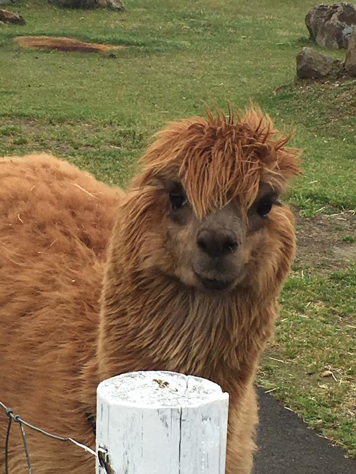 Alpaca That Spit On Me -- Olive English 英会話