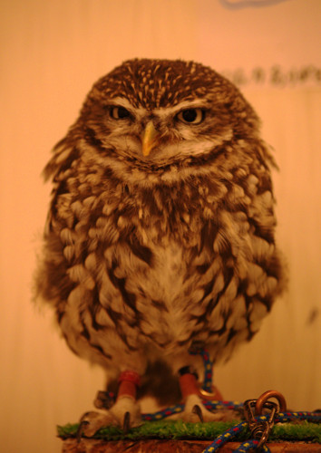 Grumpy Owl - Olive English 英会話