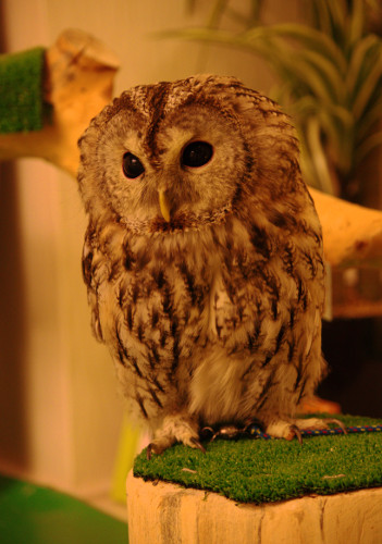 Owl Watching - Olive English 英会話