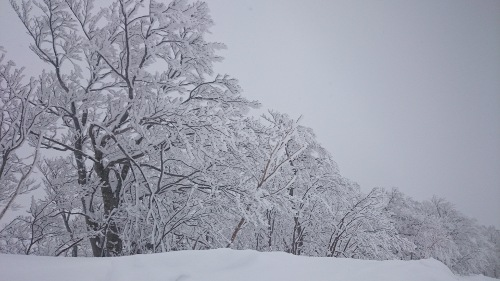 Snowy Trees at Tazawako Ski Area -- Olive English 英会話