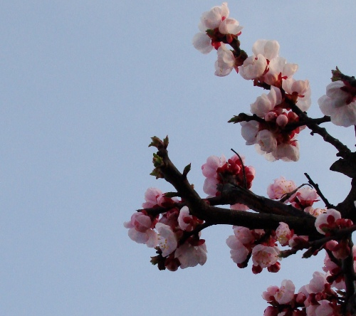 Cherry Blossoms in Akita, Olive English 英会話